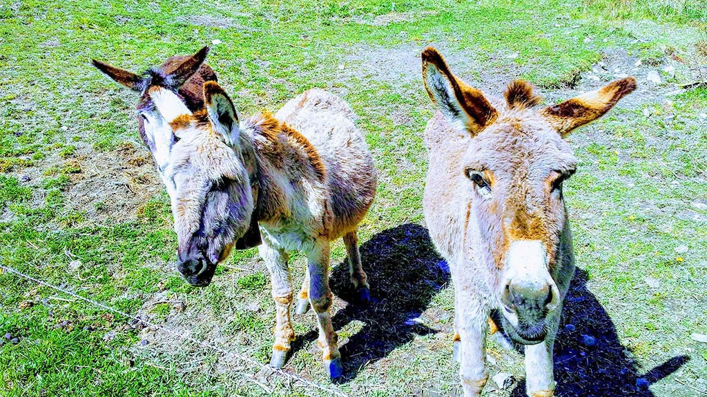 Learn_French,_English_or_German_in_Switzerland_-_Liddes_-_Spring_-_Donkey